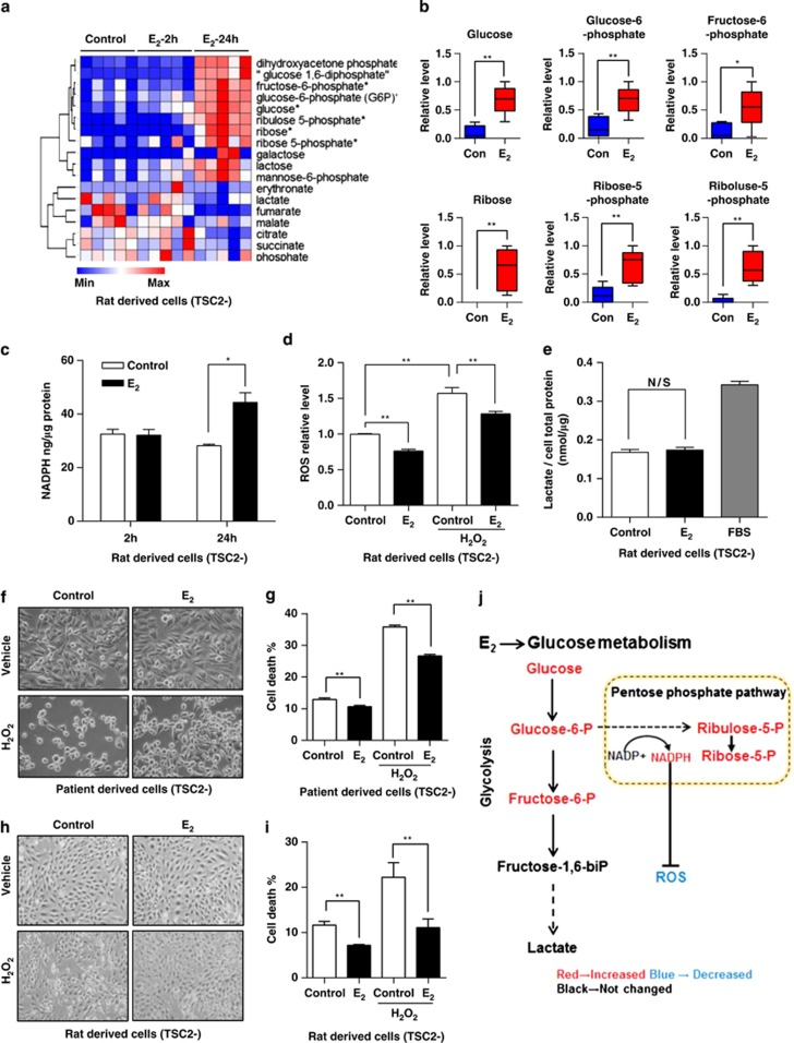 Identification of estradiol-induced metabolic signature of pentose phosphate pathway in Tsc2-deficient cells in vitro . ( a ) ELT3 (Tsc2-deficient rat uterus-derived) cells were treated with estradiol (10 nM) for 2 and 24 h. Cellular metabolites were profiled by mass spectrometry ( n =5) (Metabolon LC-MS/MS). ( b ) Box-plots of glucose, glucose-6-phosphate, fructose-6-phophate, ribose, ribose-5-phosphate, and ribulose-5-phosphate are shown. Data show the mean of five sets of independent samples. ( c ) Cellular NADPH levels were measured in rat-derived Tsc2-deficient cells treated with control or estradiol (10 nM) for 2 and 24 h. Data were normalized to total protein level. Results are representative of three sets of independent samples per group from three experiments. ( d ) Cellular ROS levels were measured using DCFH-DA in rat-derived Tsc2-deficient cells treated with control or estradiol (10 nM) for 24 h. Cells were incubated with hydrogen peroxide (H 2 O 2 ) (0.5 μ M) for 1 h before measurement. Data were normalized to total cell number. Results are representative of eight independent samples per group from three experiments. ( e ) Extracellular lactate levels were measured in rat-derived Tsc2-deficient cells treated with control or estradiol (10 nM) for 24 h. FBS (10%) stimulation was included as a positive control. Lactate levels were normalized to total proteins. Results are representative of three sets of independent samples per group from three experiments. ( f ) Patient-derived TSC2-deficient cells were treated with control or estradiol (10 nM) for 24 h, and then incubated with hydrogen peroxide (0.5 μ M) for 0.5 h. Cell morphology was recorded using phase-contrast microscopy. ( g ) Patient-derived TSC2-deficient cells were treated with control or estradiol (10 nM) for 24 h, and then incubated with H 2 O 2 (0.5 μ M) for 0.5 h. Cell death was measured using the propidium iodide (PI) exclusion assay. Proportion of dead cells was normalized to the total numbe