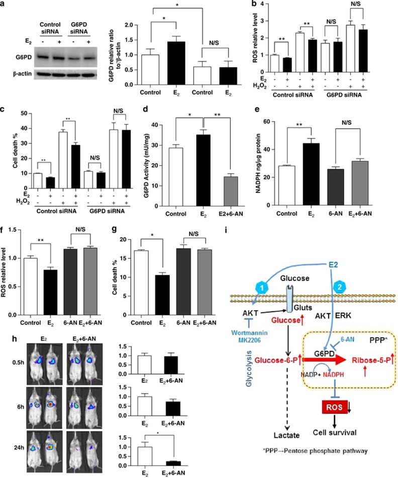 Depletion of G6PD attenuates estradiol-enhanced survival of Tsc2-deficient cells in vitro and in vivo . ( a ) Tsc2-deficient cells were transfected with control siRNA or G6PD siRNA for 48 h, and then treated with control or estradiol for 6 h. Levels of G6PD, phospho-S6 (Ser235/236), and β -actin were assessed by immunoblot. The graph indicates the ratio of G6PD to β -actin. Results are representative of three different experiments. ( b ) Tsc2-deficient cells were transfected with control siRNA or G6PD siRNA for 48 h, and then treated with control or estradiol for 24 h. Hydrogen peroxide (0.5 μ M) was added for 1 h before measurement. Cellular ROS level was measured with the DCFH-DA. Data were normalized to total cell number. Results are representative of eight sets of independent samples per group from three experiments. ( c ) Cell death was measured using propidium iodide (PI) exclusion assay. Data were normalized to total cell number. Results are representative of eight sets of independent samples per group from three experiments. ( d ) Tsc2-deficient cells were treated with 6-AN (10 μ M) for 1 h, and then treated with control or estradiol for 24 h. G6PD activity was determined. ( e ) Tsc2-deficient cells were treated with 6-AN (10 μ M) for 1 h, and then treated with control or estradiol (10 nM) for 2 and 24 h. Cellular NADPH level was measured. Data were normalized to total protein level. Results are representative of three sets of independent samples per group from three experiments. ( f ) Tsc2-deficient cells were treated with 6-AN (10 μ M) for 1 h, and then treated with control or estradiol (10 nM) for 24 h. Cellular ROS level was measured with the DCFH-DA. Data were normalized to cell number. Results are representative of eight sets of independent samples per group from three experiments. ( g ) Tsc2-deficient cells were treated with 6-AN (10 μ M) for 1 h, and then treated with control or estradiol (10 nM) for 24 h. Cell death was measured using the PI exclusi