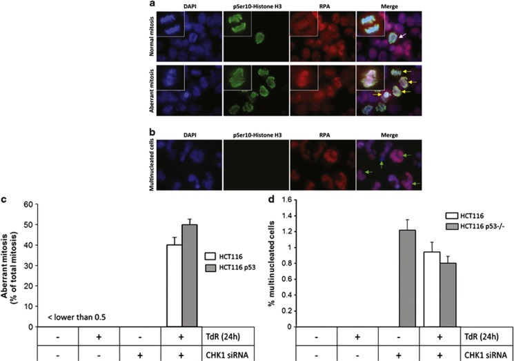 Induction of aberrant mitoses and RPA foci in CHK1-depleted HCT116 and HCT116 p53−/− cells treated with thymidine. ( a ) Representative images of HCT116 p53−/− cells grown on coverslips were treated with CHK1 or control siRNAs in the presence or absence of thymidine (2 mM) for 24 h before fixation and staining for DAPI, pSer10 histone H3 and RPA2. These cells were then imaged by fluorescence microscopy. A typical mitosis in cells treated with control siRNA in the absence of thymidine is indicated by the white arrow in the top panel. Aberrant mitoses in CHK1 depleted cells treated with thymidine are indicated by yellow arrows. Several of the aberrant mitoses show clear RPA foci (red). ( b ) Representative multinucleate cells from the above cultures. Mean values for aberrant mitoses ( c ) or multinucleate cells ( d ) determined in three independent experiments ± S.D. values