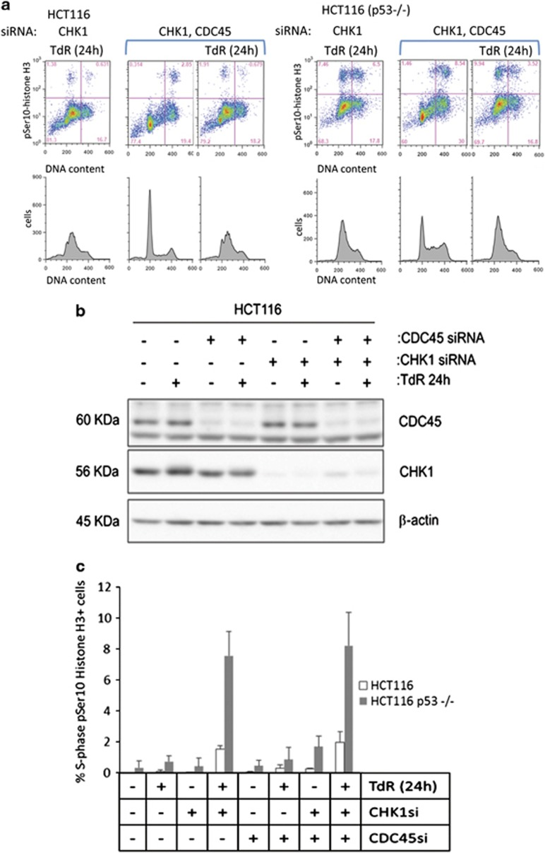 CDC45 depletion does not affect induction of pSer10-histone H3 in S-phase HCT116 or HCT116 p53−/− cells depleted of CHK1. ( a ) Indicated cells pretreated with CHK1 or CHK1 and CDC45 siRNAs were exposed or not exposed to 2 mM thymidine (TdR) for 24 h before collection and analysis for pSer10-histone H3 (top panels, scatter plots) and DNA content (bottom panels) by flow cytometry. ( b ) Western blot analysis of CDC45 and CHK1 depletion in a representative experiment. β -Actin levels are presented as loading controls. ( c ) Mean values (± S.D.) for three independent experiments as presented above
