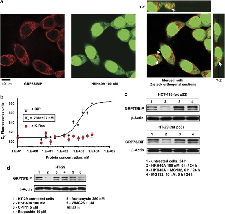 HKH40A directly binds BiP and affects its stability. ( a ) Colocalization of HKH40A with BiP. HCT-116 cells were treated with 100 nM HKH40A for 3 h, fixed and immunostained for GRP78. The drug with intrinistic ability to fluoresce binds to DNA and emits very bright fluorescence. Fluorescence is also visible in cytoplasm. Immunostaining of cells with GRP78 shows perinuclear and cytoplasmic localization. Some overlap of the two signals in the perinuclear region can be noted in the orthogonal views of the Z-stacks, scale bar 10 μ m. ( b ) Direct interaction of HKH40A with recombinant human GRP78/BiP. Microscale thermophoresis analysis revealed direct interaction of HKH40A with recombinant human GRP78/BiP. Analysis was performed using the intrinsic ability of HKH40A to fluoresce. Purified recombinant human K-Ras (1–166) was used as a negative control (in red). Its addition caused no change in the thermophoretic mobility of the compound. ( c ) Proteosomal degradation is involved in HKH40A downregulation of BiP. HCT-116 and HT-29 cells were treated with 100 nM HKH40A, 10 μ M MG132 or a combination of both agents for 6 h, then drugs were removed, cells were cultured in a drug-free medium for up to 24 h, collected and analyzed by western blot. ( d ) Topoisomerase1 and topoisomerase2 inhibition is not responsible for the reduction of GRP78/BiP level by HKH40A. HT-29 cells were cultured for 24 h with vehicle (1), 100 nM HKH40A (2), 5 μ M CPT-11 (3), 10 μ M Etoposide (4), 250 nM adriamycin (5) and 1 μ M WMC26 (6). Total cell lysates were subjected to western blots with anti-GRP78/BiP. β -Actin was used as a loading control