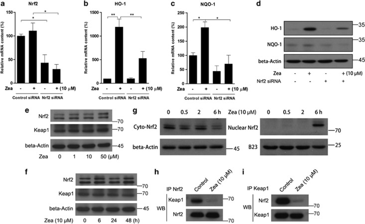 Zea activates phase II enzymes through Nrf2 nuclear translocation. ARPE-19 cells were transiently transfected with Nrf2 siRNA at 100 pmol per well in six-well plates for 24 h, followed by treatment with 10 μ M Zea for 6 or 24 h. The mRNA levels of Nrf2 ( a ), HO-1 ( b ), and NQO-1 ( c ) were analyzed after 6 h of Zea treatment, and the protein levels of HO-1 and NQO-1 were analyzed after 24 h of Zea treatment ( d ). Protein levels of Nrf2 and Keap1 response to Zea dose-dependent and time-dependent effects were analyzed by western blot ( e and f ). Cyto- and nuclear Nrf2 levels after treatment with 10 μ M Zea for 0.5, 2, or 6 h ( g ). Co-immunoprecipitation assays after 6 h of treatment with 10 μ M Zea, antibodies against Nrf2 ( h ) and Keap1 ( i ) were used for immunoprecipitation, and the antibodies employed in the western blot analysis are indicated on the left side of the panel. All data are shown as mean±S.E.M. The symbol '*' indicates statistical significance, as determined by one-way ANOVA (* P