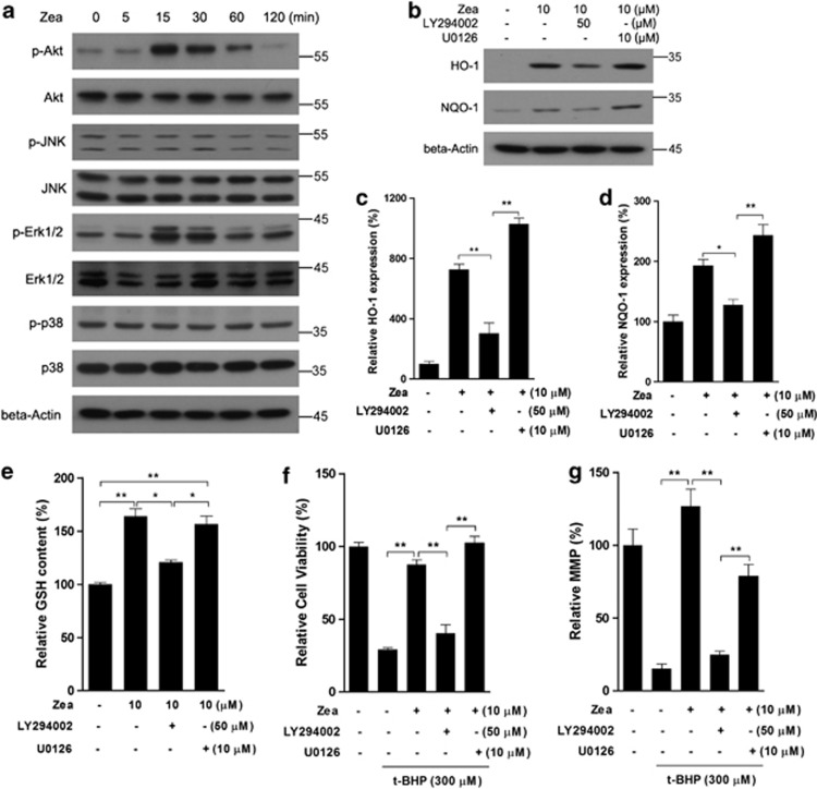 Zea activates the Nrf2/Keap1 pathway through PI3/Akt activation. ARPE-19 cells were treated with 10 μ M Zea for the indicated time, and kinase activation was analyzed by western blotting ( a ). Cells were treated with 10 μ M Zea in the presence of LY294002 or U0126 for 24 h, and the protein levels of HO-1 and NQO-1 were analyzed ( b : western blot image; c : statistical analysis of HO-1 expression; d : statistical analysis of NQO-1 expression), GSH levels were also determined ( e ). Following co-treatment with Zea, LY294002, and U0126 for 24 h, cells were challenged with t -BHP for an additional 6 h, after which cell viability ( f ) and the mitochondrial membrane potential ( g ) were analyzed. All data are shown as mean±S.E.M. The symbol '*' indicates statistical significance, as determined by one-way ANOVA (* P