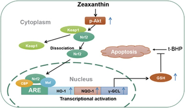 Possible mechanism of Zea protection against t -BHP-induced cell apoptosis. Zea could time and dose dependently induce expression of phase II enzymes through promoting Nrf2 nuclear translocation. GSH, the production of γ -GCL, was thereby increased, and accounted for anti-apoptotic effect of Zea. Meanwhile, the activation of PI3K/Akt pathway was found to work as upstream kinase regulating phase II enzymes expression and GSH production