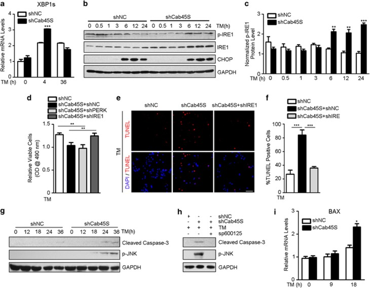 The IRE1-JNK signaling is required for activating ER stress-induced apoptosis in Cab45S-depleted cells. ( a ) Quantitative real-time PCR of relative mRNA expression levels of XBP1S in control (shNC, scrambled shRNA) and Cab45S-knockdown HeLa cell lines treated with TM (2 μ g/ml) for the indicated periods ( n =3). ( b ) Western blots of CHOP, IRE1 and p-IRE1 in control and Cab45S-knockdown HeLa cell lines after treatment with TM (2 μ g/ml) at the indicated time points. ( c ) Quantification of p-IRE1 in b . GAPDH was used as a loading control. ( d ) MTS assay of viable HeLa cells transfected with vectors expressing shNC, shCab45S and shNC, shCab45S and shPERK, and shCab45S and shIRE1 with TM (2 μ g/ml) treatment ( n =3). ( e ) Representative photomicrographs of apoptotic cells in transfected HeLa cells in which Cab45S or both Cab45S and IRE1 were depleted with TM (2 μ g/ml, 48 h) treatment (TUNEL assay). Scale bar, 100 μ m. ( f ) Quantification of TUNEL-positive cells as in e ( n =3; > 100 cells per experiment). ( g ) Western blots of cleaved caspase-3 and p-JNK in control and Cab45S-knockdown HeLa cell lines after treatment with TM (2 μ g/ml) at the indicated time points. ( h ) Western blots of cleaved caspase-3 and p-JNK in control and Cab45S-knockdown HeLa cell lines after 24 h treatment with indicated drugs. TM, 2 μ g/ml; sp600125, 20 μ M. ( i ) Quantitative real-time PCR of relative mRNA expression levels of BAX in control and Cab45S-knockdown HeLa cell lines treated with TM (2 μ g/ml) for the indicated periods ( n =3). For a , c , d , f and i , data are presented as mean±S.E.M. * P