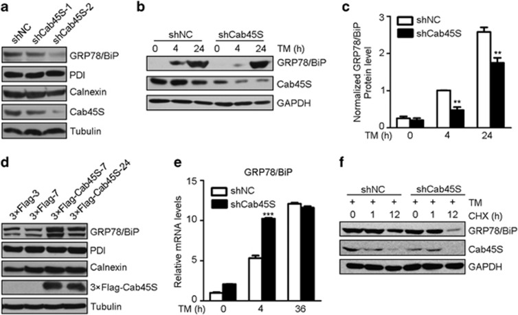 Cab45S increases the GRP78/BiP protein level. ( a and d ) Western blots of GRP78/BiP and two other ER molecular chaperones, PDI and calnexin, in stable Cab45S-knockdown ( a ) or Cab45S-overexpressed ( d ) PANC-1 cell lines. Numbers represent different cell lines. ( b and c ) Western blots ( b ) and quantification ( c ) of GRP78/BiP in Cab45S-knockdown and control (shNC, scrambled shRNA) HeLa cells treated with TM (2 μ g/ml) for the indicated periods. GAPDH was used as a loading control. ( e ) Quantitative real-time PCR of the relative GRP78/BiP mRNA expression levels in Cab45S-knockdown and control HeLa cells treated with TM for the indicated times ( n =3). ( f ) Western blots of GRP78/BiP in Cab45S-knockdown and control HeLa cells treated with TM (2 μ g/ml, 4 h) followed by cycloheximide (Chx; 100 μ M) for the indicated periods. For c and e , data are presented as mean±S.E.M. ** P
