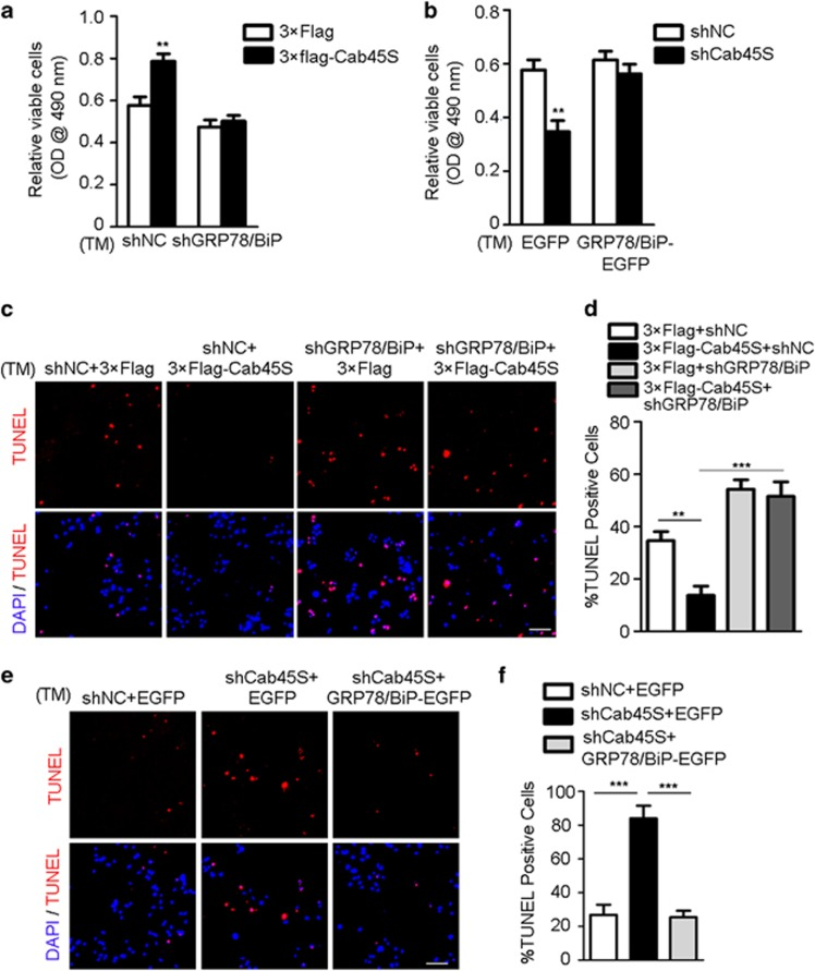 Cab45S inhibits ER stress-induced apoptosis via GRP78/BiP. ( a ) MTS assay of viable HeLa cells transfected with vectors expressing 3 × Flag and shNC (scrambled shRNA), 3 × Flag-Cab45S and shNC, 3 × Flag and shGRP78/BiP, or 3 × Flag-Cab45S and shGRP78/BiP treated with TM (2 μ g/ml, 48 h; n =3). ( b ) MTS assay of viable HeLa cells transfected with vectors expressing shNC and EGFP, shCab45S and EGFP, shNC and GRP78/BiP-EGFP, or shCab45S and GRP78/BiP-EGFP treated with TM (2 μ g/ml, 48 h; n =3). ( c ) Representative photomicrographs from TUNEL assay of apoptotic HeLa cells transfected with vectors expressing 3 × Flag and shNC, 3 × Flag-Cab45S and shNC, 3 × Flag and shGRP78/BiP, or 3 × Flag-Cab45S and shGRP78/BiP treated with TM (2 μ g/ml, 48 h). Scale bar, 100 μ m. ( d ) Quantification of TUNEL-positive cells as in c ( n =3; > 100 cells per experiment). ( e ) Representative photomicrographs from TUNEL assay of apoptotic HeLa cells transfected with vectors expressing shNC and EGFP, shCab45S and EGFP, or shCab45S and GRP78/BiP-EGFP treated with TM (2 μ g/ml, 48 h). Scale bar, 100 μ m. ( f ) Quantification of TUNEL-positive cells as in e ( n =3; > 100 cells per experiment). For a , b , d and f , data are presented as mean±S.E.M. ** P