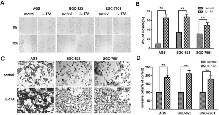 IL-17A promotes gastric cancer cell migration and invasion. (A) IL-17A treated GC cells (AGS, BGC-823 and SGC-7901) showed higher motility in a wound-healing assay, compared with cells without IL-17A treatment. (B) The percent migration rate is expressed as a percentage of the beginning area. (C) Effect of IL-17A on cell invasion was detected by transwell assay. Representative pictures of cells migrated through Matrigel-coated transwell were shown. (D) Total invasive cell number in each chamber was summarized as a percentage of control. Values represent the means ± SD of three independent experiments performed in triplicate. * p