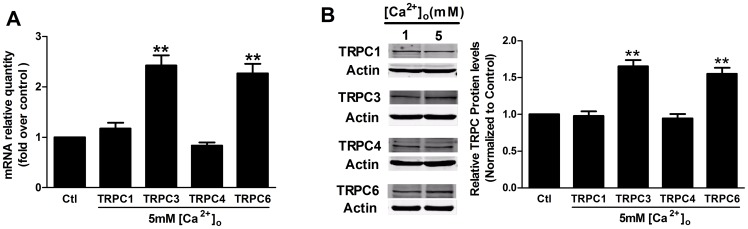 The influence of CaSR activation on TRPC mRNA levels and protein expression. Human MCs were starved for 24-free medium prior to stimulation with 1 mM (Ctl) or 5 mM [Ca 2+ ] o for 24 h. (A) Real-time PCR experiments showed that the administration of 5 mM [Ca 2+ ] o for 24 h significantly increased the TRPC3 and TRPC6 mRNA levels but did not affect the mRNA levels of TRPC1 or TRPC4 (**p