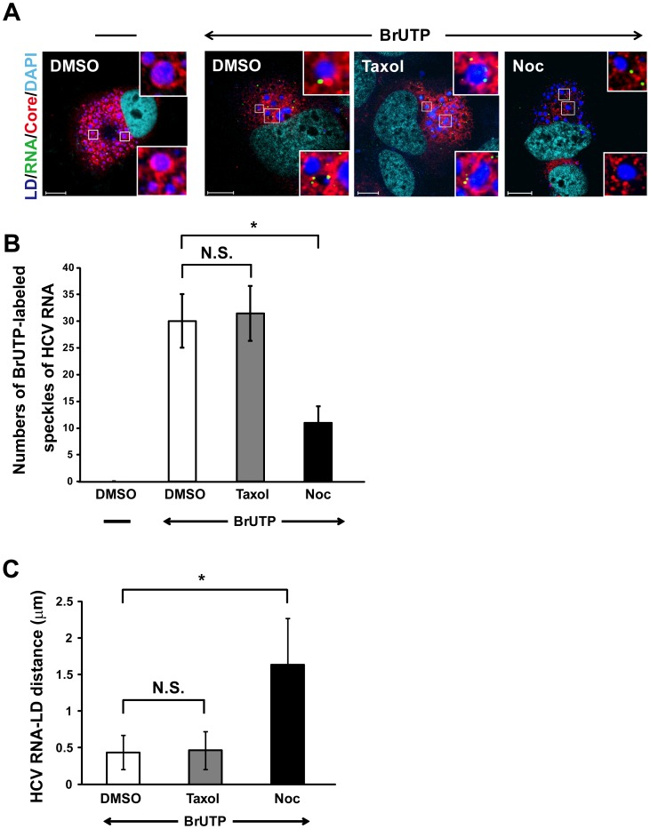 Nocodazole affects the movement of viral replication complexes (RCs) to the LDs. (A) The HCV-infected cells (at day 10 p.i.) were transfected with BrUTP in the presence of actinomycin D for 1 h and then treated with either 10 µM nocodazole or 10 µM taxol for 1 h. The cells were co-stained with mouse MAb against bromodeoxyuridine (green) and rabbit polyclonal antibodies against Core (RR8) (red). LDs and nuclei were stained with BODYPI 493/503 (blue) and DAPI (cyan), respectively. Enlarged views of parts of every image are shown (insets). (B) The number of BrUTP-labeled viral RNA was counted manually using an original magnification of ×630 and followed by a quantitation analysis performed by an observer blinded to the experimental treatment. (C) The average distance between the center of the signal emitted by the BrUTP-labeled viral RNA and the nearest edge of LD (HCV RNA-LD distance) were analyzed by using Zeiss LSM Zen software. A total of 20 cells were used for quantitation and calculation of the HCV RNA-LD distance and the number of BrUTP-labeled viral RNA from two independent experiments and error bars represent standard deviations of the mean. N.S., non-significance; *, P