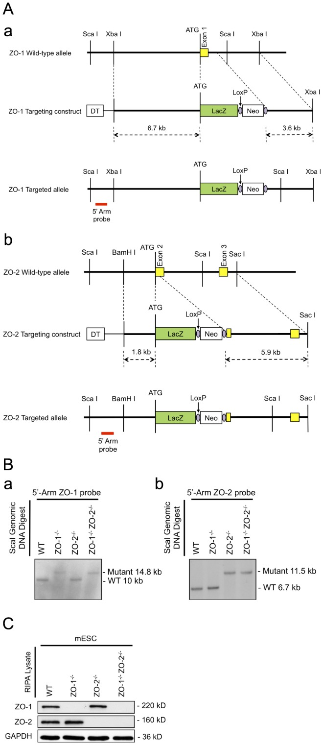 Targeting of the ZO-1 and ZO-2 locus and genotyping. ( A ) Targeting strategy. Schematic representation of the genomic loci restriction maps of ZO-1 showing exon 1 (panel a) and ZO-2 showing exons 2–3 (panel b) in yellow boxes with the initiation ATG. Through the in-frame insertion of a LacZ gene (green box) and a loxP-flanked (purple circle) Neo cassette (white box) immediately downstream of the ATG codon, the ZO-1 and ZO-2 allele-targeting constructs were designed to delete the entire ZO-1 exon 1 and part of the downstream intron; and part of ZO-2 exon 2 respectively. The red bar indicates the position of probe hybridization for Southern blot analysis. ( B ) Genotypic analysis by Southern blotting. ScaI-digested genomic DNA of selected mESC clones were hybridized with a DIG-labelled 5′ genomic DNA probe for the identification of homologous recombinants. 10 kb and 14.8 kb probe-hybridized fragments correspond to WT and targeted allele of ZO-1 locus respectively (panel a), whereas WT and targeted allele of ZO-2 locus are respectively represented by 6.7 kb and 11.5 kb fragments (panel b). ( C ) Protein expression analysis. mESC lysates were subjected to immunoblotting with anti-ZO-1 and anti-ZO-2 antibodies. The presence of ZO-1 and ZO-2 protein is indicated by 220 kD and 160 kD bands respectively. GAPDH served as a control for equal lysate input.