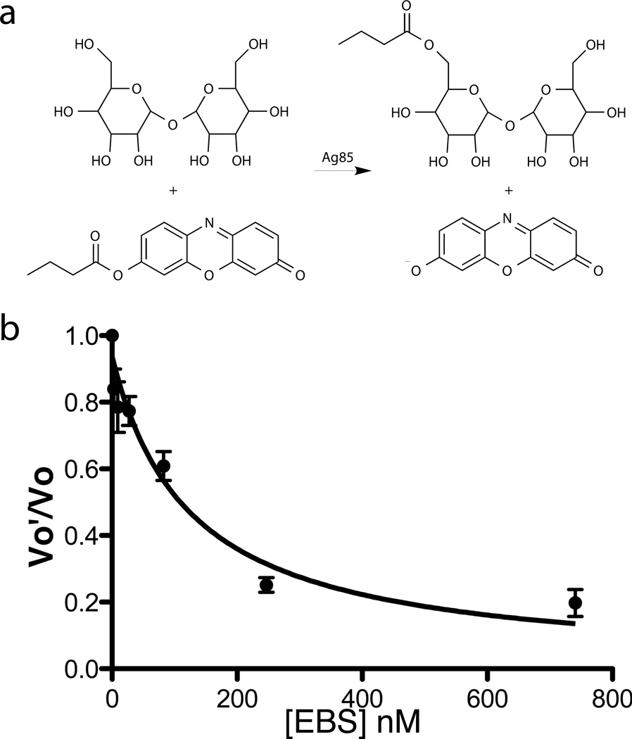 Inhibition of Ag85C activity and TDM/mAG production by ebselen. ( a ) Assay used to measure Ag85C enzymatic activity. The amount of resorufin butyrate converted to resorufin is monitored by measuring fluorescence at 593 nm. ( b ) Ebselen dose-dependence. Vo'/Vo represents the ratio of the initial velocities of the inhibited reaction (Vo') and the uninhibited reaction (Vo). Error bars (representing standard deviation or SD) are calculated from triplicate reactions.
