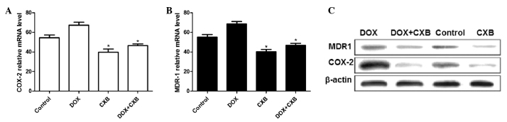 Expression of COX-2 and MDR1 in the tumor tissue was determined following treatment with CXB, DOX or a combination for 21 days. Expression of (A) COX-2 and (B) MDR1 mRNA in tumor tissue, as determined by qPCR. (C) Protein expression level of COX-2 and MDR1 in tumor tissue, as determined by western blot analysis. * P