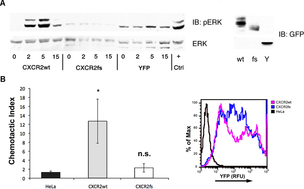 Functional characterization of the CXCR2fs mutant receptor. (A) Intracellular ERK1/2 signaling in HeLa cells transfected with wild type or mutant CXCR2 receptor. HeLa cells transfected with CXCR2wt-YFP, CXCR2fs-YFP or YFP alone were stimulated with CXCL8 (100 ng/mL) and lysates collected over the time course indicated to assess the activation of the ERK1/2 pathway. Peak phosphorylation following stimulation of CXCR2wt occurred at 5 min with significant attenuation of activation by 15 min. No activation over baseline was detected in cells expressing CXCR2fs. ERK1/2 activation at 5 min following stimulation of endogenous CXCR4 with CXCL12 (100 ng/mL) was used as a positive control (+). Protein abundance of CXCR2wt-YFP (wt), CXCR2fs-YFP (fs) and the YPF control (Y) proteins in transfected cell lines are shown (right panel). (B) Chemotaxis assay results for HeLa cells expressing CXCR2wt-YFP or CXCR2fs-YFP. Transiently transfected HeLa cells were seeded in the top chamber of modified Boyden chambers and CXCL8 (100 ng/mL) was added to media in the bottom chamber. The chemotactic index (migration in presence of CXCL8/migration in absence of CXCL8) was calculated from the results of assays performed in triplicate. Robust migration was observed in cells expressing the wild type CXCR2 fusion protein (gray bars), but not in those expressing the frameshift mutant (open bars) or in untransfected cells (black bars). Overexpression of each construct was confirmed by detecting YFP fluorescence (expressed as relative fluorescence units; RFU) in aliquots of transfectants (right panel). * P