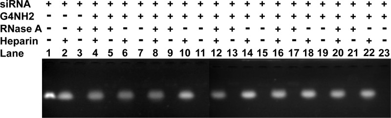 <t>RNase</t> protection assay (nondenaturing agarose gel electrophoresis) of the siRNA–G4NH2 dendriplexes (N/P 5) as a function of the RNase A concentration. Dendriplexes incubated in presence (+) or absence (−) of the treatments: RNase A (0.35, 0.7, 1.0, 1.5, and 3.5 μg per 1 μg siRNA, in lanes 4–7 , 8–11 , 12–15 , 16–19 , 20–23 , respectively) for 6 h at 37 °C, followed by 1 μL (40 U) <t>RiboLock</t> RNase inhibitor for 30 min at 37 °C to block RNase activity, and heparin (455 U per 1 μg siRNA) for 30 min at 37 °C to dissociate the siRNA from the dendrimer. Aqueous medium: TE buffer 1X pH 8. Untreated siRNA control (250 ng) in lane 1 , after incubation with heparin ( lane 2 ) and 0.35 μg RNase A per 1 μg siRNA ( lane 3 ).