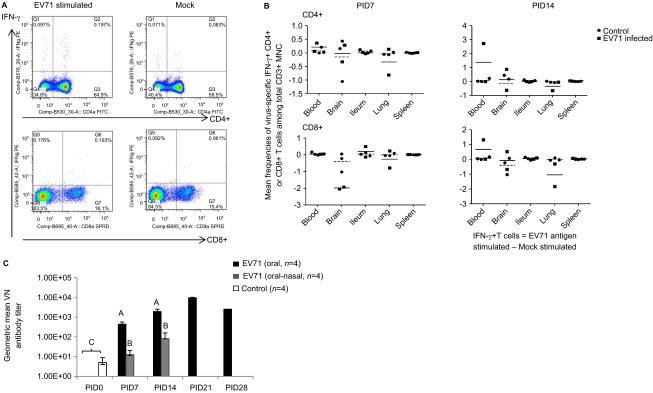 Immune responses during EV71 infection in neonatal gnotobiotic pigs. ( A ) Representative dot plots showing the frequency of CD3 + CD4 + IFN-γ + and CD3 + CD8 + IFN-γ + T lymphocytes among the total CD3 + mononuclear cells in the blood. MNCs were stimulated with semi-purified whole EV71 antigen or control medium for 17 h prior to staining. ( B ) The frequency of IFN-γ-producing CD3 + CD4 + and CD3 + CD8 + T cells among the CD3 + mononuclear cells in the ileum, spleen, blood, brain and lung on PID 7 and PID 14 after EV71 BJ110 infection via the oral–nasal route in neonatal gnotobiotic pigs. The mean frequencies were calculated by subtracting the mean frequency value of medium/mock stimulated cells from the mean frequency value of virus-stimulated cells. A positive mean frequency value indicates that IFN-γ production was upregulated upon virus stimulation, whereas a negative mean frequency value indicates that IFN-γ production was downregulated upon virus stimulation. The mean value for the EV71-infected group is indicated by the solid line, and the mean value for the mock control group is indicated by the dashed line. ( C ) Serum neutralizing antibody response in EV71-infected neonatal gnotobiotic pigs. Different uppercase letters (i.e., A, B and C) indicate significant differences between different treatment groups and different time points within the same treatment group. Shared uppercase letters or no letters indicate that no significant differences were observed. (Kruskal–Wallis test, P