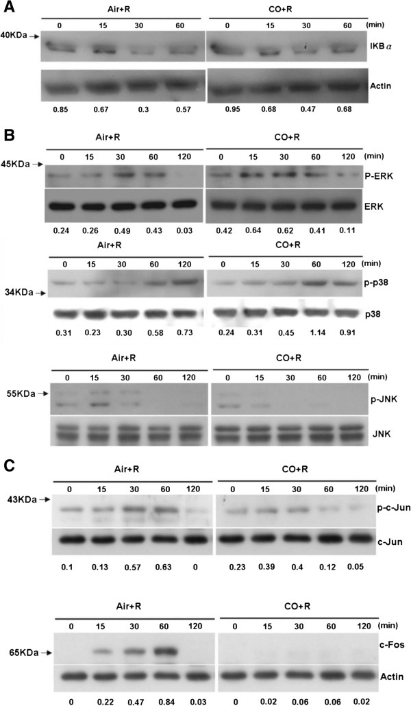 CO suppresses JNK and c- jun phosphorylation and c - fos expression in RANKL - treated RAW 264.7 cells. Western blots showing (A) the expression of IκB-α, as an indicator of NF-κB activity, (B) the phosphorylation of <t>ERK,</t> <t>p38,</t> and JNK, and (C) c-Jun and c-Fos expression.