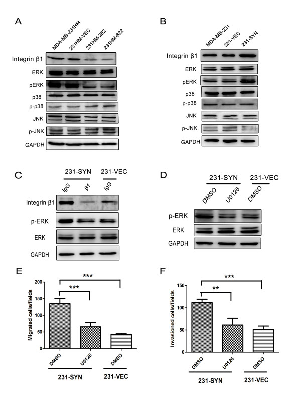 Activation of integrin β1 and ERK1/2 is essential for syntenin-induced migration and invasion . (A) Silencing of syntenin in MDA-MB-231HM cells inhibited active integrin β1 expression and phosphorylation of ERK1/2, but had no effects on JNK and p38. (B) Overexpression of syntenin increased active integrin β1 expression and ERK1/2 phosphorylation in 231-SYN cells. The activation of ERK1/2 was analyzed with Western blot by using phosphor-specific antibodies. (C) Integrin β1 functional blocking antibody blocked both active integrin β1 expression and ERK1/2 phosphorylation. Cells were treated with integrin β1 or nonspecific IgG for 1 hour before protein extraction. (D) ERK1/2 inhibitor U0126 blocked activation of ERK1/2. Cells were pretreated with dimethylsulfoxide (DMSO) or 20 µ M U0126 (U0126) for 2 hours before protein extraction. (E, F) U0126 effectively reduced the migration and invasion of breast cancer cells. GAPDH was used as loading control. Data are expressed as means of triplicate samples from three independent experiments; bars, SD. ** P