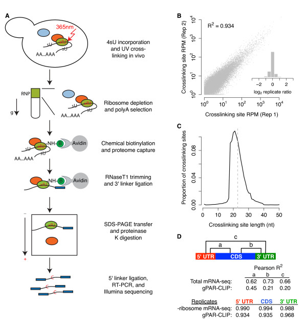 gPAR-CLIP identifies transcriptome-wide RBP crosslinking sites . (a) Schematic of the gPAR-CLIP protocol. (b) Reproducibility of crosslinking sites generated from replicate gPAR-CLIP libraries prepared from yeast grown in synthetic defined media (abbreviated as WT gPAR-CLIP hereafter). Pearson correlation coefficient is indicated. Inset: distribution of log 2 crosslinking site RPM ratios between replicates. Replicate error σ = 1.3-fold. (c) Length distribution of crosslinking sites in WT gPAR-CLIP libraries. Dotted line: average crosslinking site length of 23 nucleotides. (d) Pearson correlation coefficients of total mRNA-seq and gPAR-CLIP read coverage between 5' UTR, CDS, and 3' UTR regions as well as correlation coefficients of ribosome depleted (-ribosome) mRNA-seq and gPAR-CLIP read coverage between replicate WT libraries.