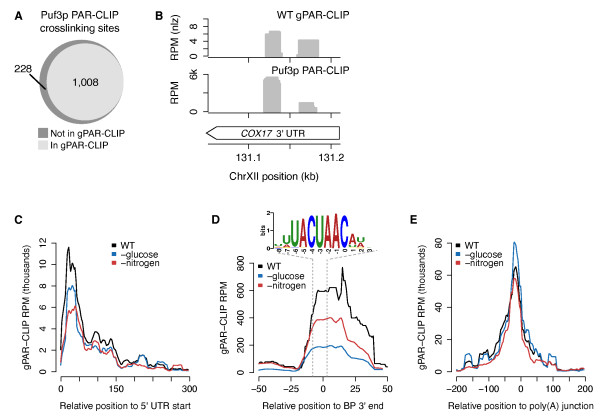 <t>gPAR-CLIP</t> captures known RBP crosslinking signatures . (a) Overlap of crosslinking sites identified in Puf3p PAR-CLIP and wild-type (WT) gPAR-CLIP. Puf3p PAR-CLIP crosslinking sites with > 1% T-to-C conversion rate (Additional file 8 ) were considered captured by gPAR-CLIP if at least 50% of their nucleotides overlapped with a WT gPAR-CLIP crosslinking site with FDR