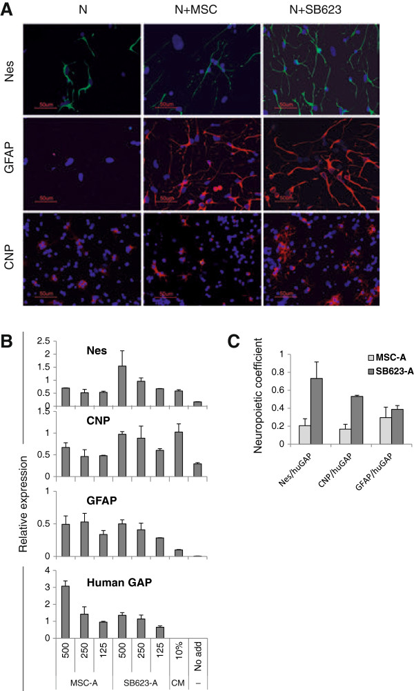 """Comparison of neuropoietic activity of SB623 and MSCs in cocultures with rat embryonic neural cells. (A) Rat neural cells were grown in the presence or absence of MSCs or SB623 (rat/human cell ratio was 10:1) and immunostained for rat nestin (upper panel) and GFAP (middle panel) on day 5, or for CNP on day 12. Nuclei were stained with DAPI (B) An example of microplate neuropoiesis assay data: a comparison of rat neural differentiation marker induction in cocultures of rat cells with MSCs and SB623 from Donor A. Rat neural cells (5,000/well) were cocultured with 500, 250, and 125 cells/well of either MSCs or SB623; and expression of rat-specific nestin, GFAP, and CNP, and human-specific GAP was quantified by using qRT-PCR. Stimulation with 10% MSC-CM and no stimulation (""""No add"""") were used as positive control and background, respectively. Relative units correspond to standard samples used in qPCR run. Error bars represent SD of biologic duplicates. (C) Neuropoietic coefficients of MSCs and SB623 from Donor A were calculated based on data presented in (B) by first subtracting the background expression of a corresponding neural marker and then normalizing the expression of the neural marker to the human GAP for each number of human cells per well, followed by averaging normalized values. Error bars represent SD from three normalized values."""