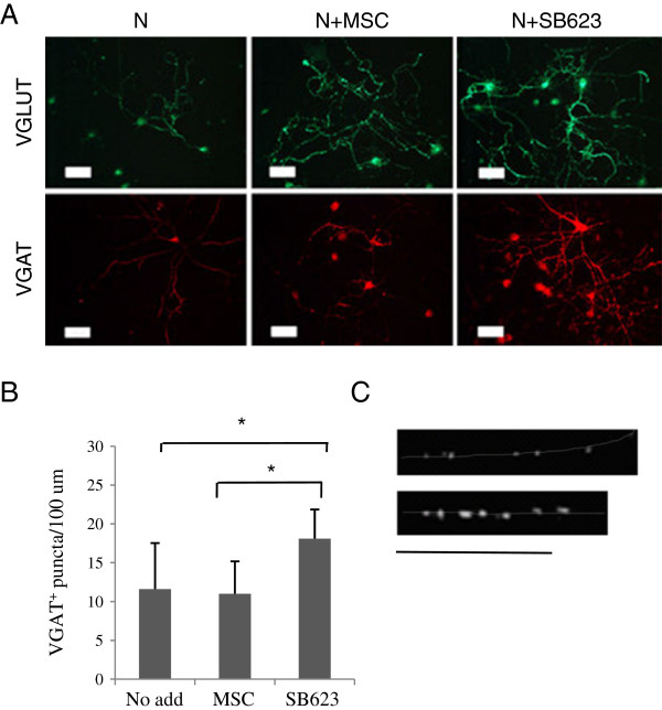 Comparison of presynaptic puncta formation in cocultures of rat embryonic neural cells with MSCs or SB623; immunostaining. (A) Immunostaining for VGLUT (day 7) and VGAT (day 11); rat/human cell ratio, 50:1. Bar, 50 μm. (B) Quantification of VGAT-immunoreactive puncta per neurite length (averaged from 10 microscopic fields, one to four neurites/field), day 11. (C) Typical distribution and size of VGAT-positive puncta in axonal processes in cocultures with MSCs (upper) or SB623 (lower), day 13. Neurites are outlined manually. Bar, 50 um.