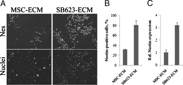 Comparison of SB623- and MSC-derived ECM in supporting nestin-positive cell growth. (A) Rat neural cells were grown for 5 days on MSC- or SB623-derived ECM and then immunostained for nestin (upper panel) and counterstained for nuclei (lower panel); magnification 100×. (B) Nestin-positive cells grown and stained as described in (A) were counted, and their numbers expressed as percentage of total nuclei. (C) Rat nestin expression in cells growing on MSC- or SB623-ECM was quantified by using qRT-PCR and normalized by the LDH activity released from either MSC- or SB623-ECM-producing cells during ECM preparation, correspondingly, to account for possible differences in cell numbers.