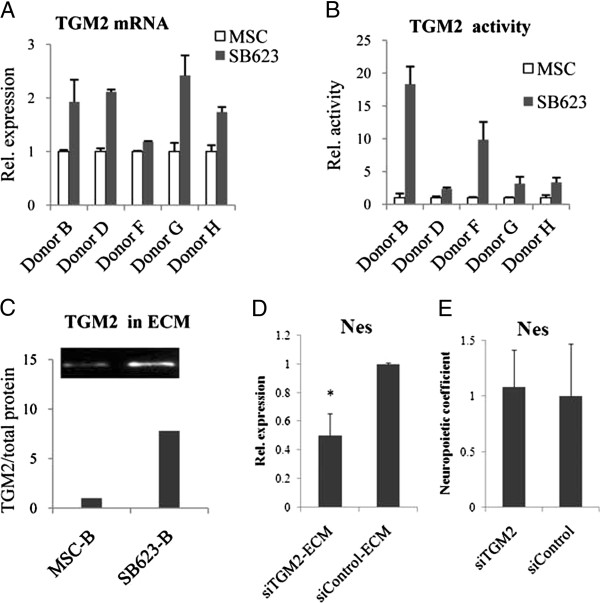 Comparison of expression and activity of TGM2 in SB623 and MSC; its functional analysis in ECM using siRNA. (A) Expression levels of TGM2 normalized to GAP were determined by using qRT-PCR in SB623/MSC pairs from several donors. Levels in SB623 cells were expressed relative to levels in parental MSCs, which were set on 1. (B) TGM2-crosslinking activity was measured by amounts of biotinylated cadaverine incorporated into PLL in the presence of SB623 or MSC cell lysates. The activity was then normalized to the total protein, and expressed compared with the parental MSCs, where the values were set on 1. (C) TGM2 was detected in ECM of MSCs and SB623 by using immunoblotting. The TGM2 signal was quantified densitometrically and normalized to the total ECM protein per lane. The total ECM protein was assessed by using duplicated gel: the gel was stained for protein; photographed; and the density of corresponding lane minus background determined. (The whole blot and gel are shown in Additional file 6 : Figure S5). (D) Nestin expression was quantified by using qRT-PCR in rat neural cells grown on ECM produced by SB623 transfected with either siTGM2 or siControl. Nestin levels on siControl-ECM were set on 1. The graph represents means from three experiments; error bar represents standard error of mean; * P