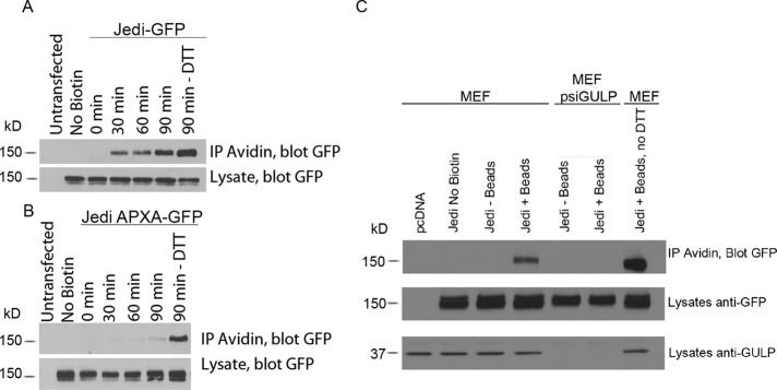 The NPXY motif and GULP are required for internalization of Jedi-1. Time course for internalization of Jedi-1-GFP (A) or Jedi-1-GFP APXA mutant (B) after addition of microspheres. HeLa cells were transfected with wild-type or APXA mutant Jedi-1-GFP. Surface proteins were biotinylated with EZ-Link Sulfo-NHS-SS-Biotin at 4°C and then exposed to fluorescent microspheres and warmed to 37°C for the time indicated. The <t>biotinylation</t> of surface proteins was then reversed using the reducing agent <t>DTT.</t> The cells were lysed, and internalized, biotinylated Jedi-1 or mutant Jedi-1 was pulled down with avidin-conjugated agarose beads and detected by immunoblotting with a GFP antibody. Total levels of Jedi-1 are shown in lysates ( n = 3). (C) Control MEFs or MEFs with GULP knocked down (MEF psiGULP) were transfected with Jedi-GFP. The cells were then exposed to microspheres or left untreated for 90 min, and the internalized Jedi-1 was detected as in A and B. Levels of Jedi-1–GFP and GULP are shown in the lysates.