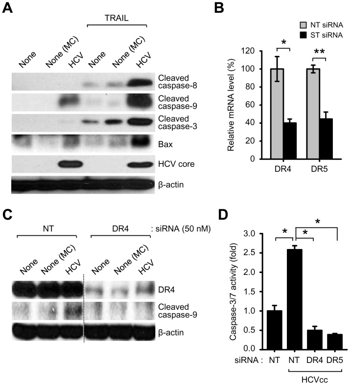 HCV infection activates DR4/DR5-dependent caspase cascade. (A) Western blot analysis of Bax and cleaved caspase-8, caspase-9, and caspase-3 in HCV-infected cells. Huh7.5.1 cells infected with HCVcc in the absence or presence of recombinant TRAIL (100 ng/ml) were used for Western blot analysis with antibodies against the indicated proteins. β-actin was used as an internal loading control. Samples: MC, media control. (B and D) Silencing DR4 and DR5 prevent caspase-9 cleavage and caspase-3/7 activity induced by HCV infection. Huh7.5.1 cells transfected with non-targeting (NT) or gene-specific (ST) siRNA pools targeting DR4 and DR5, respectively, were infected with HCVcc. At 3 days post-infection, the mRNA levels of DR4 and DR5 were analyzed by real-time qRT-PCR (B) (mean±SD; n = 3; *p