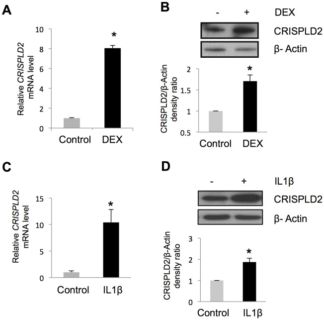 CRISPLD2 is a GC- and IL1β-responsive gene. ASM cells were treated with 100 A ) increased CRISPLD2 mRNA expression as measured by qRT-PCR, B ) increased CRISPLD2 protein expression as measured by immuno-blotting. ASM cells were treated with 5 ng/mL IL1β for 24 h, resulting in C ) increased CRISPLD2 mRNA expression as measured by qRT-PCR, and D ) increased CRISPLD2 protein expression as measured by immuno-blotting. CRISPLD2 mRNA levels were measured in triplicate. CRISPLD2 protein levels are shown as normalized blot densitometry values, and the error bars are SE values across three independent experiments. * P