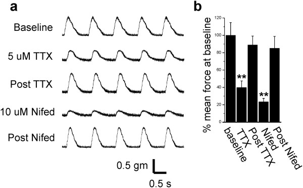 Block of sodium channels triggers significant reduction in contractility. (a) Shown are force traces from a papillary muscle paced at 1 Hz before and after application of tetrodotoxin (TTX) and nifedipine. After each drug is washed out, contractility returns to baseline. (b) Shown is a bar graph showing the mean force at baseline, following TTX, washout of TTX (post TTX), following nifedipine, and washout of nifedipine (post Nifed) (n = 3 rats). ** P