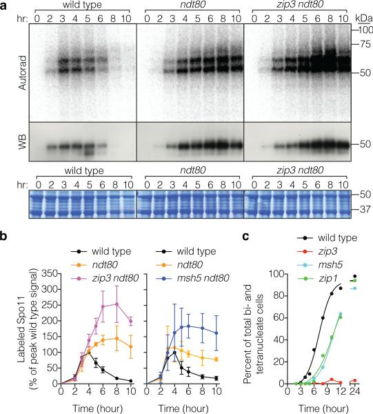 Separable effects of ndt80 and zmm mutations a , b , Spo11-oligo complex labeling from representative time courses is in a and quantification from ≥ 3 cultures (mean ± SD) is in b . c , Meiotic progression (percent of cells completing the first division).