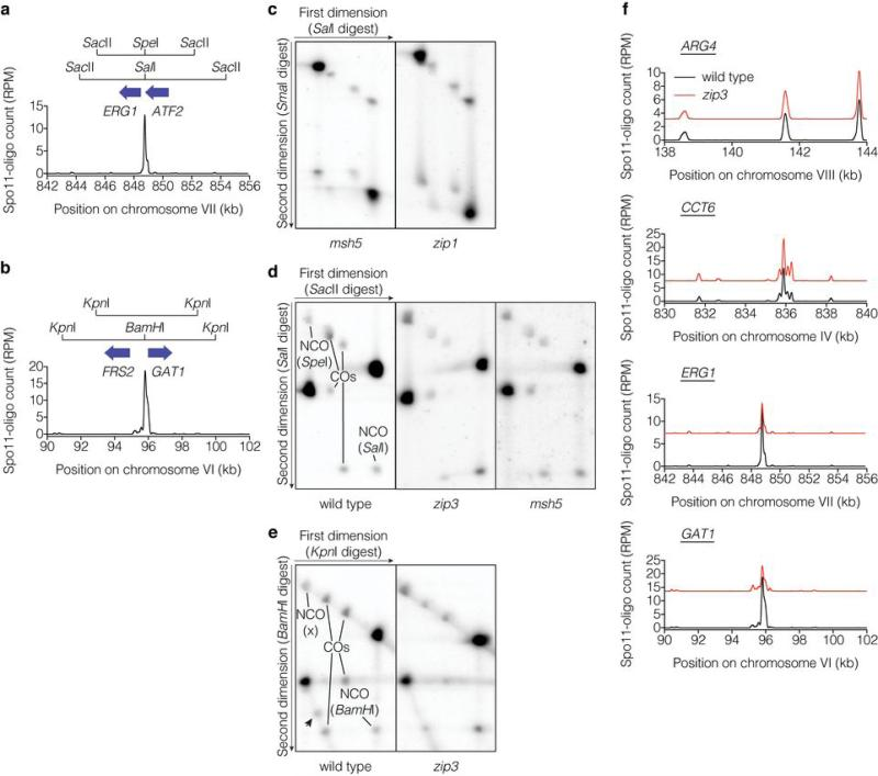 Analysis of recombination at three natural DSB hotspots a , b , Recombination reporters at the ERG1 ( a ) and GAT1 ( b ) hotspots. c , d , e , Representative Southern blots of parental and recombinant DNA molecules at CCT6 ( c ), ERG1 ( d ), and GAT1 ( e ). The arrowhead in e indicates a non-reproducible radiolabeled species. f , Local distribution of DSBs around recombination reporter locations is not altered in zip3 mutants. Spo11-oligo profiles (averages for wild type and zip3 ) are smoothed with 201-bp Hann window; zip3 values are offset to separate profiles.