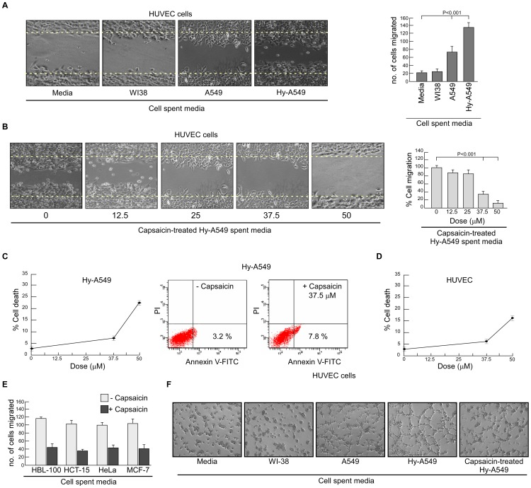 Effect of capsaicin on lung cancer cell spent medium-induced endothelial cell migration and network formation. (A) Migration of HUVECs in presence or absence of spent media of NME, WI-38, A549 and Hy-A549 (CoCl 2 -stimulated to mimic hypoxic condition required for tumor-induced angiogenesis) were subjected to bi-directional wound healing assay for 24 h ( left panel ). The number of cells migrated in the wound area are represented graphically ( right panel ). (B) Representative images of HUVEC migration upon incubation with capsaicin-treated (0–50 µM) Hy-A549 cell spent medium ( left panel ). Percent cell migrated in the wound area has been represented graphically ( right panel ). (C) Hy-A549 cells were treated with capsaicin in a dose-dependent manner for 24 h and cell viability was scored by trypan blue dye-exclusion assay ( left panel ). Hy-A549 cells, treated with capsaicin (37.5 µM), were subjected to Annexin-V-FITC/PI binding and analyzed flow cytometrically for the determination of percent early apoptosis ( right panel ). (D) Cytotoxic effect of different doses of capsaisin on HUVEC cells were measured by trypan blue dye-exclusion assay. (E) Graphical representation of HUVEC migration upon incubation with spent media from capsaicin-treated (37.5 µM) HBL-100, HCT-15, HeLa and A549. (F) Representative images of capillary-like sprout formation by HUVECs in presence of media alone or spent media of WI-38/A549/Hy-A549/capsaicin-treated Hy-A549. Values are mean ± SEM of three independent experiments in each case or representative of typical experiment.