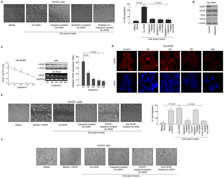 Capsaicin selectively inhibits VEGF secretion to retard Hy-A549 cell-induced HUVEC cell migration. (A) Representative phase contrast photomicrographs demonstrating HUVEC migration upon incubation with spent media of Brefeldin-A-pretreated, capsaicin (37.5 µM)-treated Hy-A549 cells ( left panel ). Percent cell migrated in the wound area has been represented graphically ( right panel ). (B) Immunoblots showing expression profiles of pro-angiogenic factors VEGF, bFGF, EGF, TGF-β, in presence or absence of capsaicin. (C) Secreted VEGF from cell-free supernatant of Hy-A549 was quantified by ELISA assay ( left panel ). Time-dependent expression profiles of VEGF-mRNA/-protein in capsaicin-treated Hy-A549 cells were determined by Western blot and RT-PCR respectively ( middle panel ). Capsaicin-treated Hy-A549 cells were examined for time-dependent variation in the expression profiles of VEGF by quantitative real time PCR analysis and represented graphically ( right panel ). (D) Immuno-fluorescent images (60x magnification) showing time-dependent pattern of VEGF protein (TRITC-fluorescent) in capsaicin-treated Hy-A549 cells were represented along with nuclear staining (DAPI: blue). (E) Representative images of HUVEC migration upon incubation with (i) recombinant VEGF-supplemented control media, or VEGF-supplemented spent media of capsaicin-treated Hy-A549 cells, or with (ii) anti-VEGF-treated Hy-A549 spent media ( left panel ). Percent cell migrated in the wound area is being represented graphically ( right panel ). (F) Representative images of capillary-like sprout formation by HUVECs upon incubation with recombinant VEGF-supplemented spent media of capsaicin-treated Hy-A549 cells or with anti-VEGF-treated Hy-A549 spent media. GAPDH/α-Actin was used as internal loading control. Values are mean ±SEM of three independent experiments in each case or representative of typical experiment.