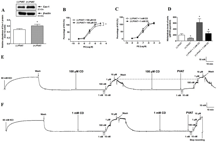 Role of caveolin-1 (Cav-1) in perivascular adipose tissue (PVAT)-enhanced vasocontraction. Western blot analysis of Cav-1 was performed in aorta homogenates in the presence (n=11) and absence (n=12) of PVAT (A). Blots are representative of the numbers of animals in parentheses. Densitometric mean values were normalized to  β -actin protein levels. After aortas were preincubated with or without 100 µM methyl- β -cyclodextrin (CD) (n=10) (B) or 1 mM CD (n=11) (C), the phenylephrine (PE)-induced vasoconstriction was examined. Nitrate/nitrite levels were measured in aortic homogenates in the presence (n=13) and absence (n=12) of PVAT, and the addition of CD (1 mM) reversed the decreased nitrate/nitrite levels caused by PVAT (n=3) (D). An original trace demonstrates contractile responses to incremental concentrations of PE (1 nM∼10 µM) in the presence and absence of PVAT after pretreatment aorta with CD (100 µM) (E) or 1 mM (F)). Values are means ± SEM for the numbers of animals in parentheses. * P