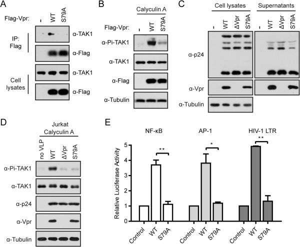The S79A mutant of Vpr is unable to activate NF-κB and AP-1. (A) Vpr S79A failed to associate with endogenous TAK1. HEK293T cells (4 × 10 6 ) were transfected with wild type Flag-Vpr or its mutant S79A. After forty-eight hours, cell lysates were immunoprecipitated with anti-Flag antibody. Samples from both cell lysates and immunoprecipitates were probed with rabbit anti-TAK1 and anti-Flag antibodies. (B) Vpr S79A was unable to enhance the phosphorylation of TAK1. A total of 0.5 × 10 6 HEK293T cells were transfected with wild type Flag-Vpr or its mutant S79A. After forty-eight hours, cells were pretreated with 20 nM Calyculin A for 5 min. Whole cell lysates were subjected to Western blotting and probed with indicated antibodies. (C) HEK293T cells (4 × 10 6 ) were transfected with 1 μg pVSV-G along with 8 μg NLENY1-ES (WT), NLENY1-ΔVpr (ΔVpr), or NLENY1-S79A (S79A) by PEI. The cell lysates and viral supernatants were subjected to Western blotting with the indicated antibodies. (D) Jurkat cells (2 × 10 6 ) were infected with VSV-G pseudotyped WT, ΔVpr, or S79A equivalent to 500 ng p24 in the presence of 5 μg/ml polybrene by spinoculation at 300 xg for 30 min. After two hours, cells were pretreated with 15 nM Calyculin A for 5 min. Whole cell lysates were subjected to Western blotting with the indicated antibodies. (E) Ser-79 is required for Vpr-induced NF-κB, AP-1, and HIV-1 LTR activation. HeLa cells (0.1 × 10 6 ) were transfected with Flag-Vpr or its S79A mutant along with κB, AP-1, or HIV-1 LTR luciferase reporter plasmid. After forty-eight hours, luciferase activities were measured. The results shown are the averages of three independent experiments. The error bars indicate standard deviations. * P