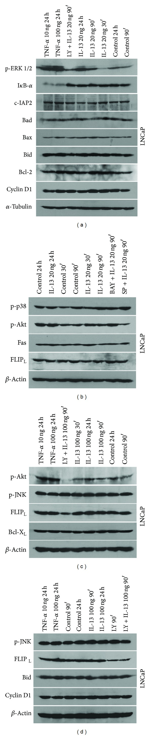 Western blot analysis of LNCaP protein expression. (a), (b), (c), and (d) LNCaP cells were treated with TNF- α (10 and 100 ng/mL) for 24 h or IL-13 (20 and 100 ng/mL) for 30 and 90 min and 24 h or LY-29004 (20 μ M) for 90 min or pretreated with LY-29004 (20 μ M), BAY-117082 (30 μ M), or SP600125 (30 μ M) for 1 h and then treated with IL-13 (20 and 100 ng/mL) for 90 min. Untreated cells for 30 and 90 min and 24 h were used as control (ctrl). Cell extracts were resolved by SDS-PAGE and analyzed by western blot with antibodies against Bid, Bad, Bax, Bcl-2, Cyclin D1, p-ERK 1/2, I κ B- α , c-IAP2, p-p38, p-Akt, Fas, FLIP L , p-JNK, and Bcl-X L . Reprobing with antibody against α -tubulin or β -actin was used as a loading and transfer marker.