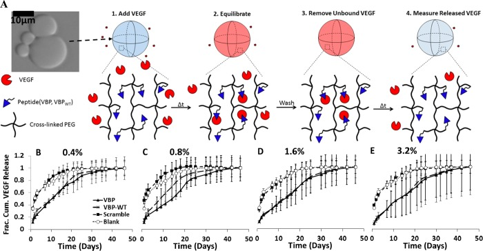 Influence of peptide concentration on VEGF release from microspheres. (A) Schematic of VEGF release from PEG microspheres in albumin-only (Serum-Free) solution. Top panel: Blank (no peptide) PEG microspheres imaged with phase contrast, under 20X objective with an Olympus IX51 inverted epifluorescence microscope. Schematic shows VEGF-bound state of a microsphere (in red), followed by a change in time and subsequent release of VEGF from the PEG microsphere. (B–E) Fractional cumulative VEGF release from PEG microspheres that were incubated in 9.9 ng mL –1 VEGF, 0.1 ng mL –1 [ 125 I]VEGF in 0.1 wt % BSA in PBS at various peptide concentrations in % of norbornene groups functionalized with peptide. Graphs represent PEG microspheres containing 0.4% peptide (B), 0.8% peptide (C), 1.6% peptide (D) and 3.2% peptide (E). Fractional release was calculated by dividing the release at each time point by the cumulative amount of VEGF released at the final time point.