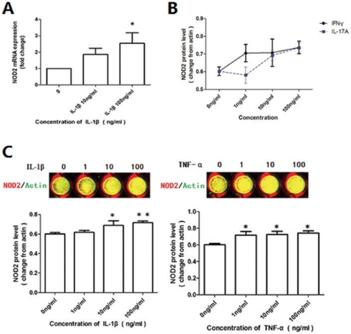 Effect of cytokines on the expression of NOD2 in first trimester DSCs. The primary-cultured DSCs from normal pregnant women were starved with 1% FBS for 12 h and then treated with vehicle, IL-1β, TNF-α, IFN-γ or IL-17A of different concentration (1 ng/ml, 10 ng/ml, 100 ng/ml) for 24 hrs respectively. The mRNA and protein level of NOD2 was determined by real-time PCR and In-cell Western. The pictures were from one representative of three individual experiments. (A) IL-1β increased the NOD2 mRNA expression in DSCs. (B) IFN-γ or IL-17A, but did not affect NOD2 expression after 24 hrs stimulation. (C) NOD2 was elevated in DSCs after the stimulation with TNF-α and IL1β. The bars indicate the ratio of the intensity of NOD2 protein to that of <t>β-actin.</t> Error bars depict the standard error of the mean. Data represent mean of fold change ±SEM. * P