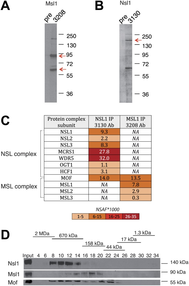 Msl1 and Nsl1 incorporate into endogenous complexes in mESCs. ( A and B ) Western Blot analysis using the raised anti-Msl1 (3208) or anti-Nsl1 (3130) antibodies on nuclear extracts. Preimmune sera (pre) were used as negative controls. ( C ) Anti-Msl1 (3208) or anti-Nsl1 (3130) antibodies were used to immunoprecipitate protein complexes from mESC nuclear extracts. The IP-ed complexes were then analysed by multidimensional protein identification technology (MudPIT). The identified MSL- or NSL-containing complex proteins and their relative protein abundance in the samples are represented by normalized spectral abundance factor (NSAF) ( Zybailov et al., 2006 ). NSAF allows the comparison of abundance of individual proteins in multiple independent samples and in multiprotein complexes ( Florens et al., 2006 ; Paoletti et al., 2006 ). The colour intensity reflects of the NSAF values multiplied by 1000 (as indicated). ( D ) Gel filtration of mESC nuclear extracts. Every second fraction eluted from a Superose 6 column was analysed for the presence of Nsl1, Msl1, and Mof by Western Blot. Molecular weight markers for the corresponding fractions are indicated on the top of the panel. DOI: http://dx.doi.org/10.7554/eLife.02104.003 10.7554/eLife.02104.004 List of identified proteins of MudPIT analyses. SAF and NSAF values of all significantly enriched proteins in the Msl1 3208 or Nsl1 3130 IP in NE of mESCs. DOI: http://dx.doi.org/10.7554/eLife.02104.004