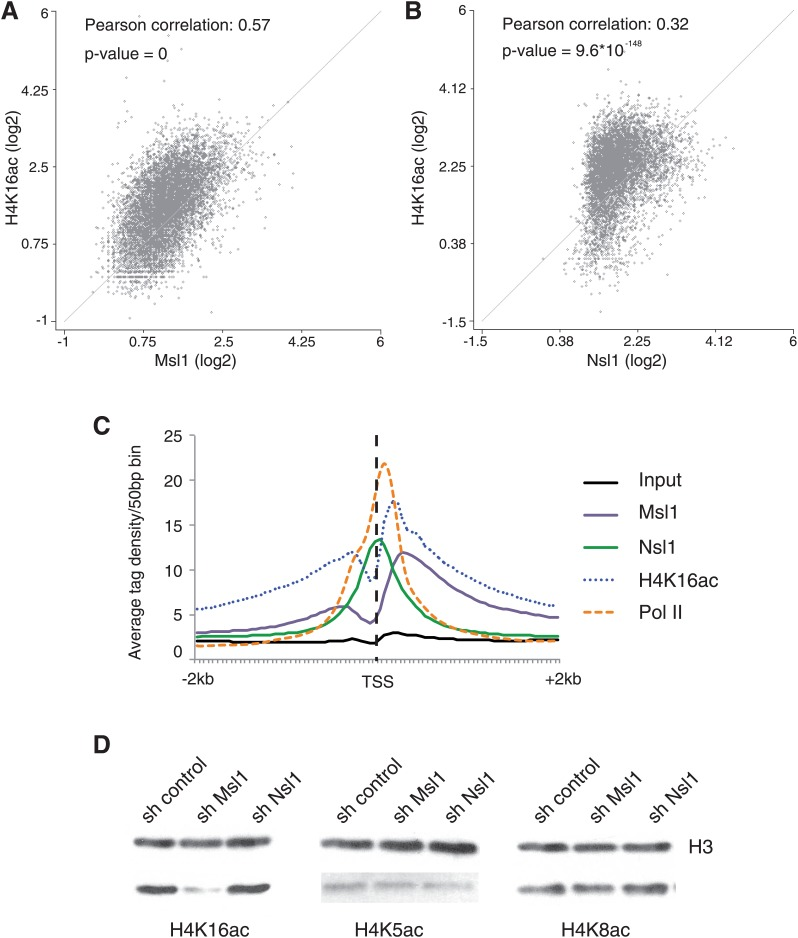 MSL affects H4K16 acetylation in mESCs. ( A and B ) Scatter Plots indicating the Pearson correlation and Pearson p-values between H4K16ac and Msl1 ( A ) or Nsl1 ( B ) densities at Msl1 peaks or Nsl1 peaks. Log2 represented tag densities were calculated at peak regions and normalized to the control (Input) data set. ( C ) Average binding profiles of Msl1, Nsl1, Pol II and H4K16ac at a region of +2 kb around all ENSEMBL promoters. Only Nsl1 and Msl1 positive genes are taken into consideration. The input serves as control and tag densities are normalized to the input. ( D ) mESCs were treated for 5 days with lentiviral vectors expressing sh control, sh Msl1, or sh Nsl1 interfering RNAs. Total histones were isolated by acidic extraction and H4K16ac, H4K5ac, and H4K8ac levels were analysed by western blot. Histones were normalized using an antibody against non-modified histone 3 (H3). KD efficiencies were tested in Figure 2—figure supplement 2A–D . DOI: http://dx.doi.org/10.7554/eLife.02104.011