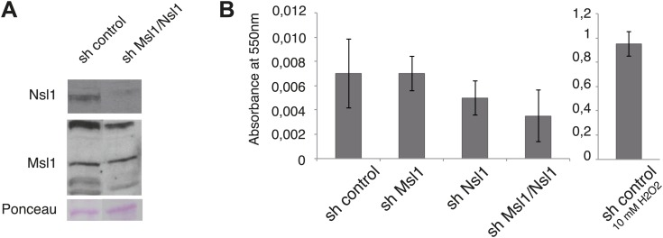 shMsl1, shNsl1 and double KD mESCs do not undergo apoptosis. ( A ) mESCs were treated with sh control or a mix of sh Msl1 and sh Nsl1 (sh Msl1/Nsl1) expressing lentiviral vectors. 5 days after lentiviral infection Msl1 and Nsl1 downregulation in sh control or sh Msl1/Nsl1 mESCs was tested by Western Blot. 20 μg of proteins were loaded per lane and normalized by ponceau staining and the blots were revealed with the indicated antibodies. ( B ) Cell death analyses of sh control, sh Msl1, sh Nsl1 and sh Ms1/Nsl1 mESCs 6 days after lentiviral infection. Sh control mESCs treated with 10 mM of H 2 O 2 were used as positive control. Phosphatidylserine appearance at the outer cell membrane of apoptotic cells was analysed by colorimetric measurement at 550 nm using the APOpercentage assay. DOI: http://dx.doi.org/10.7554/eLife.02104.016