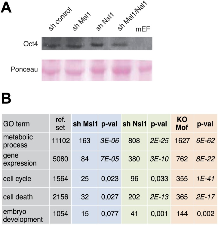 Msl1, Nsl1 and Mof regulate mESC-unspecific genes. ( A ) GO analysis ( Tassy and Pourquie, 2013 ) of downregulated genes in sh Msl1, sh Nsl1 and Mof KO mESCs. ( B ) <t>Oct4</t> expression in cell extracts prepared from sh control, sh Msl1, sh Nsl1 and sh Msl1/Nsl1 mESCs was analysed by Western Blot. Extracts from mouse embryonic fibroblasts (mEFs) were used as negative control. 20 μg of proteins were loaded per lane and normalized by ponceau staining, and the blots were developed with an anti-Oct4 antibody. DOI: http://dx.doi.org/10.7554/eLife.02104.019