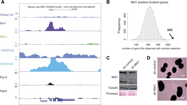 MSL binds to bivalent genes. ( A ) H3K27me3 and Ezh2 profiles together with Nsl1, Msl1, H3K4me3 and Pol II at the bivalent Hes5 gene at the UCSC genome browser. The input serves as negative control. ( B ) Bootstrap statistical analyses ('Materials and methods') were carried out with a random selection of 13,505 genes (IDs) out of a total pool of 26,460 ENSEMBL IDs. The histograms represent the average numbers of observed IDs in the random sets. The average number and SD is: 165 ± 10 using a random selection (p-value=4.48e−66). The experimentally obtained 343 Msl1 positive bivalent genes in Cluster C (indicated by a bold arrow) is significantly far from the average of randomly selected gene IDs. ( C and D ) mESCs were treated with sh control or sh Msl1 expressing lentiviral vectors, 5 days after lentiviral infection mESCs were cultured without LIF. RA was added for additional 4 days to induce NPC formation. ( C ) Msl1 downregulation in sh control, or sh Msl1 conditions were tested by Western Blot as indicated. 20 μg of proteins were loaded per lane and normalized by tubulin and ponceau staining. ( D ) Morphology was analysed with a reverse-phase microscope using a 10x magnification. DOI: http://dx.doi.org/10.7554/eLife.02104.022