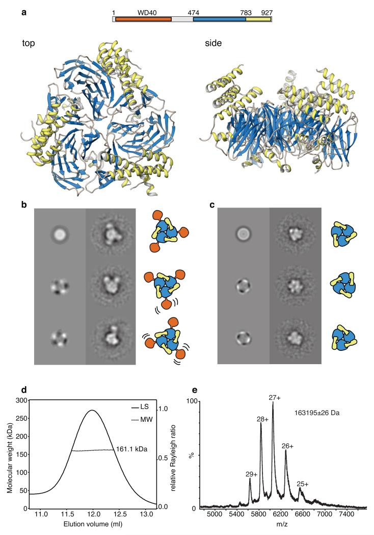 Architecture of yeast Ctf4 a , Ctf4 self-associates in a trimer of novel design. The panel shows top and side views of the crystal structure of the C-terminal region of yeast Ctf4 (Ctf4 CTD ; amino acids 471 to 927). The protein is drawn as ribbon, coloured according to its domain structure: the β-propeller domain is in light blue and the helical domain in yellow. Above the drawing, a bar diagram shows the domain structure of full-length yeast Ctf4 and the extent of the region crystallized in our study. b , Analysis of full-length Ctf4 by single-particle electron microscopy. Multivariate statistical symmetry analysis detects a threefold symmetry component for the full-length Ctf4 particle. Reference-free class averages of full-length Ctf4 reveal a core structure flexibly linked to up to three satellite domains. c , Analysis of Ctf4 CTD by single-particle electron microscopy. The C-terminal domain of Ctf4 maintains a trimeric structure, as shown by multivariate statistical symmetry analysis and reference-free class averages. d , Size exclusion chromatography - multi-angle laser scattering analysis of yeast Ctf4 CTD . The light scattering is plotted alongside the fitted molecular weights. The protein eluted in a single peak, corresponding to a measured molecular weight of 161.1 kDa. The predicted molecular weight for the trimeric species is 163.1 kDa. e , Native mass-spectrometry analysis of yeast Ctf4 CTD . The measured molecular weight of 163195 Da matches closely the predicted molecular weight of 163148 Da for a trimeric species.
