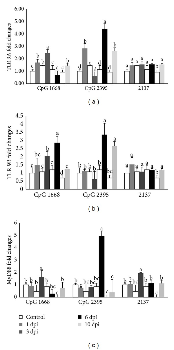 """The relative mRNA expressions of TLR 9A (a); TLR 9B (b); and MyD88 (c) in cobia intestine after stimulating with different CpG ODNs (1668, 2395) and ODN 2137 as control measured by quantitative real-tie PCR at 1, 3, 6, and 10 days after stimulation. The expression values represented as """"fold change"""" were compared to the noninjected control samples and β -actin was used as a reference gene. The results are presented as the mean ± SD ( n = 2) and mean values with different alphabetical letters are significantly different ( P ≤ 0.05)."""