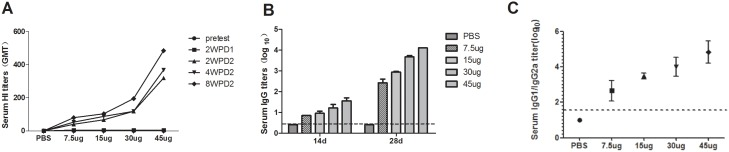 Antibody responses to the H7N9/PR8 split vaccine in mice. Groups of 20 BALB/c mice were immunized intramuscularly at weeks 0 and 2 with 7.5, 15, 30, or 45 µg (HA levels) of the H7N9/PR8 split vaccine. (A) HI antibody responses to the (wt) AnHui virus after vaccination as described above. Serum samples were collected on day 0; 2 weeks after priming; and 2, 4, and 8 weeks after boosting. (B) Serum IgG titers against the (wt) AnHui virus measured 2 weeks after both the first and second doses of vaccine. (C) The ratios of serum IgG1 to IgG2a titers against the (wt) AnHui virus, calculated 2 weeks after the second dose of vaccine. The data are presented as means ± SDs of the data from three experiments, each performed in duplicate. HI, hemagglutination inhibition; PBS, phosphate-buffered saline. 2WPD1: 2 weeks post-vaccination with dose 1. 2WPD2: 2 weeks post-vaccination with dose 2; 4WPD2: 4 weeks post-vaccination with dose 2; 8WPD2: 8 weeks post-vaccination with dose 2.
