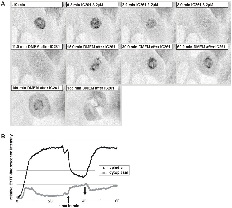 """Microtubule depolymerization by IC261 treatment is reversible. ( A ) CV-1 cells expressing EYFP-tubulin were treated at time point """"0 min"""" with 3.2 µM IC261 and observed by time-resolved fluorescence microscopy (see video sequence, movie S5 ). The spindle apparatus of the representative cell shown here was dissolved within 8 min. At time point """"10 min"""" IC261 was removed by exchange of media. Within a few minutes spindle MTs were built up again (""""15 min"""") and 20 min after removal a morphologically unimpaired spindle apparatus had been developed (""""30 min""""). After 2 h the cell proceeded into anaphase and cytokinesis (""""155 min""""). ( B ) Densitometric analysis of grey values. For quantitative analysis the relative mean intensity of EYFP-tubulin fluorescence signal in a defined region of interest (ROI) around the spindle apparatus and in the cytoplasm was measured by the software CellR. Due to IC261 treatment at time point """"0 min"""" (arrow up) the relative intensity immediately decreased due to MT depolymerization and subsequent removal of IC261 at time point """"10 min"""" (arrow down) lead to a reconstruction of microtubules."""